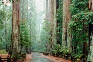 Секвойный лес.