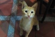 Голодный египетский кот- типичный представитель.