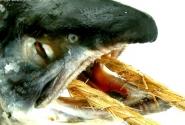Зачем рыбы глотают канаты?