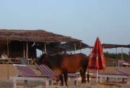 Без коров - никуда, даже на пляже