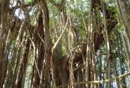 Дерево баньян, на ветвях которого возлежал Шива