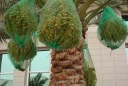 Финиковая пальма. С финиками