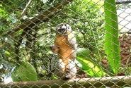 кареглазая мартышка