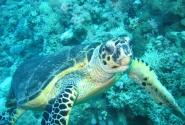 Глаза в глаза: морская черепаха