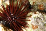 Грифельный морской еж