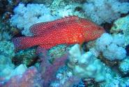 Пожалуй, самая необычная рыба - коралловая гаррупа. Есть некоторые рыбы, способные к перемене пола, но вот гаруппы могут это делать несколько раз в течении жизни, превращаясь из самцов в самок и обратно!