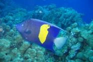 Синий ангел или аравийская рыба-ангел - пятно золотисто-желтого цвета напоминает по форме очертания Синая или Африки