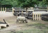 Носорог (я долго не могла поверить, что он настоящий!)