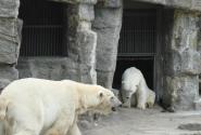 Белые медведи…