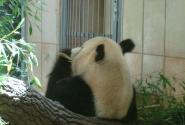 Две панды – главный хит зоопарка, основанного еще Францем-Иосифом