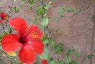После Марокко только в моем фотоблоге не было гибискуса. Исправляюсь