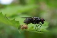 красавица муха