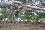 Самое большое дерево в Королевском Ботаническом саду