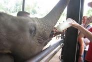 у слоника счастье - кормят молоком