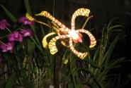 орхидея-скорпион