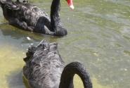 Черные лебеди в пруду Грин Парка