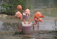 Обед фламинго