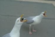 Прожорливые чайки