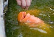 вообще рыбы в Тае ленивые, просят еду складывать в рот