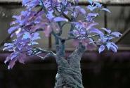 бонсаи кислотной расцветки...