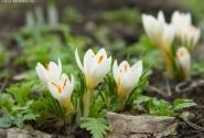 весна ... в белом ...