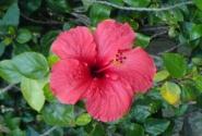 Цветочек Аленький заморский