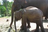 На слоновой ферме