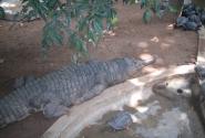 Крокодильчик спрятался
