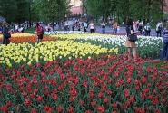 Московские тюльпаны