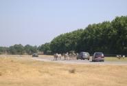 Зебры устроили пробку на дороге:)
