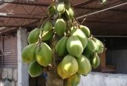 Арекипианский фрукт - мини-папайя