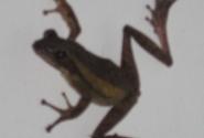 лягушка настенная