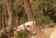Верблюд.
