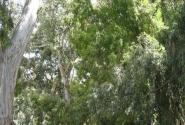 Эвкалиптовая аллея