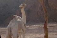 Ой, верблюдик