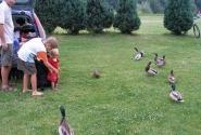 Утки атакуют