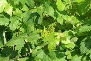 Виноград зреет