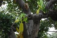 дерево со странными плодами