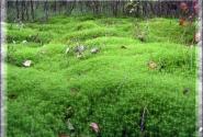 Конаковский мох