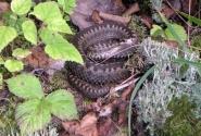 Змеюка подколодный
