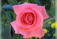... и португальская роза для дам-путешественниц