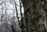 грустный момент. Абхазия.Неразорвавшийся снаряд ранил дерево...