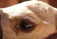 В Петре я узанла, что зрение верблюда воспринимает все вокруг в 9 раз больше! Я поверила...все-таки сам Мажд-сказочник сказал...