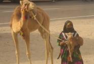Маленький верблюжонок похож на овечку!