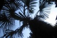 украинские пальмы)