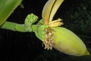 да-да!вот так растут бананы!