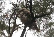 Австралийиский зимородок-кукабарра