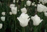 Тюльпаны белые-фигурные