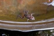и маленький лягушонок в воде для питья...