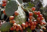 Ярко-красные плоды - съедобны, но опасны колючками.